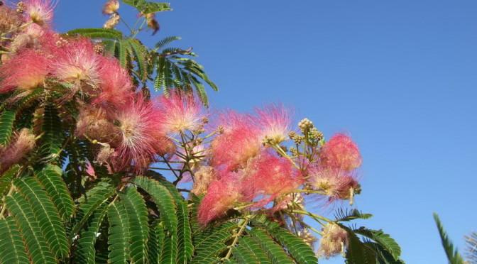 Antiparos -Blütenpracht