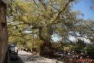 Krasi, größte Platane Kretas, ihr Umfang beträgt fast 18 m