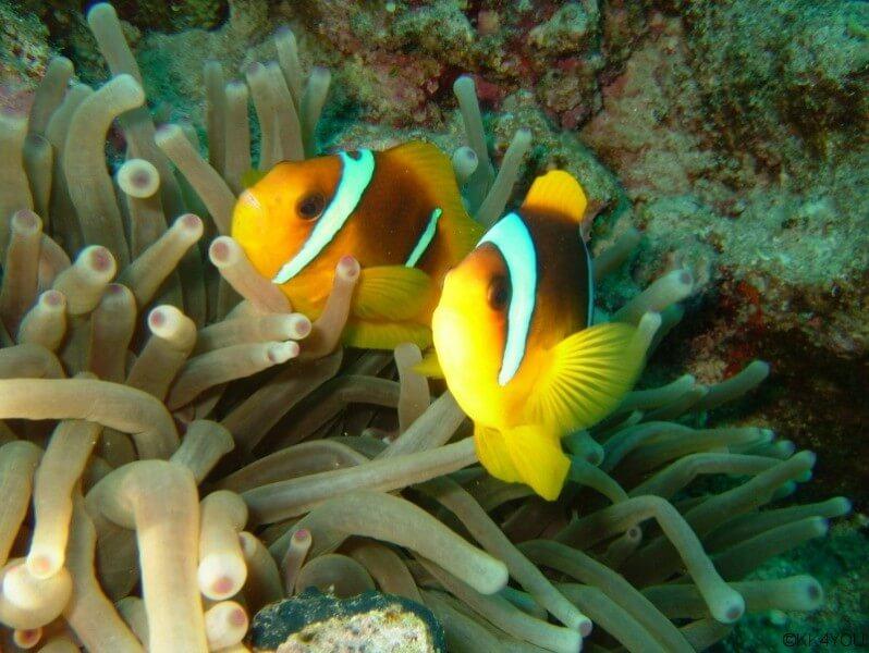 Clownfische