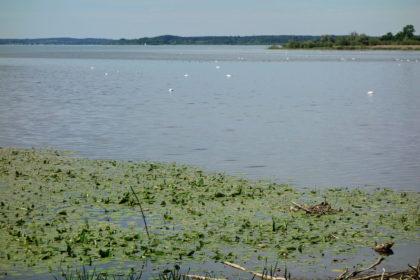 Seerosen im Mündungsgebiet der Achen