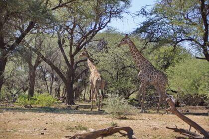 Giraffen zur Begrüßung