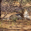 Okonjima Lodge, Fotojagd auf Leoparden und Geparden