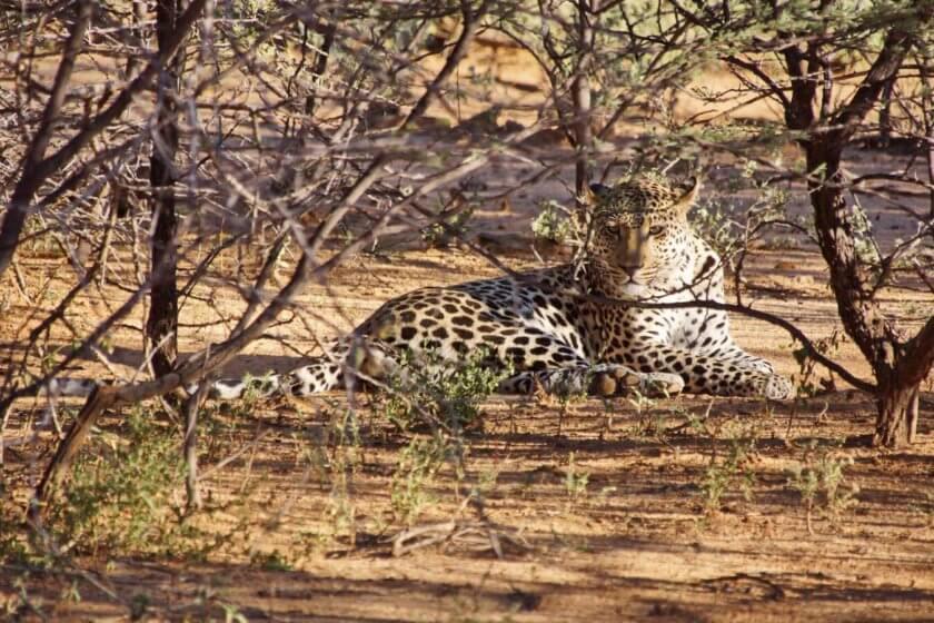 Leopard Terra