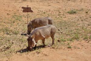 Warzenschweine zu Besuch