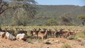 Impalas an der Pad zum Waterberg