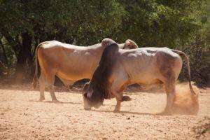 Brahman Bullen im Streit