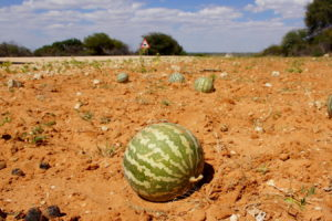 Tsamma-Melone