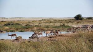 Springböcke Von Lindequist Gate bis Anderson Gate -Wasserloch Okerfontein