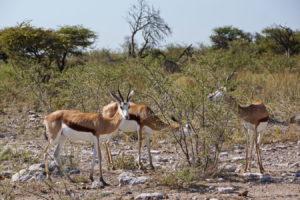 Springböcke am Wasserloch Okerfontein