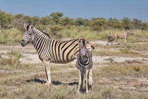 Zebras mit Jungtieren