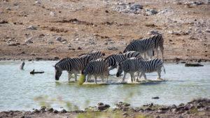 Zebras am Wasserloch Aus