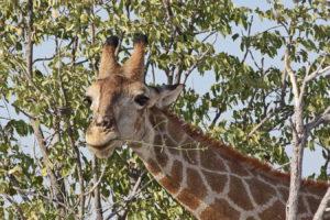 Giraffe zupft die Blätter