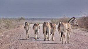 Zebras haben Wegerecht
