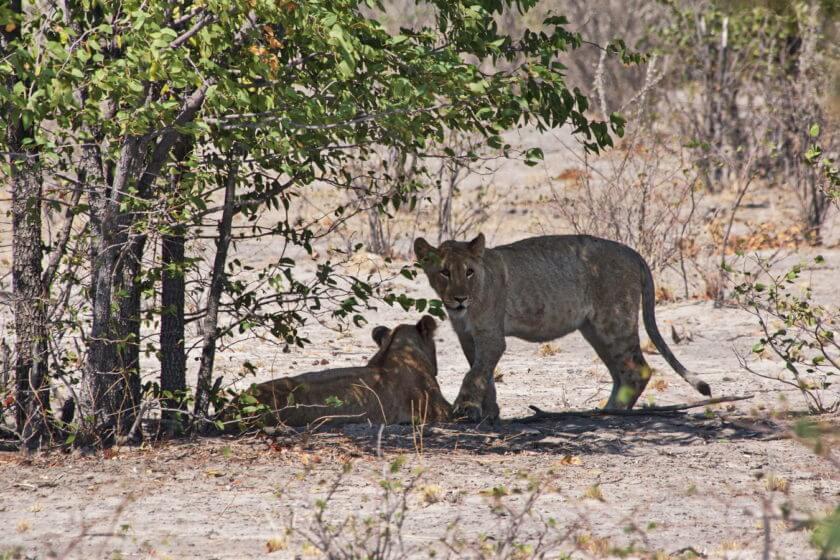 Westteil des Etosha Parks -Löwenrudel
