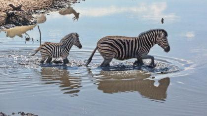 Wasserloch Olifantsrus -Zebra mit Jungtier