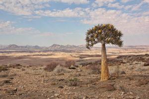 Köcherbaum -Namib's Valley