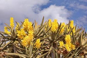 Blütenstand der Köcherbäume
