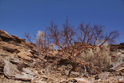 Myrrhe-Baum -Commiphora myrrha ist eine Pflanzenart innerhalb der Familie der Balsambaumgewächse