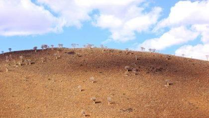Köcherbaumwald in den Tirasbergen