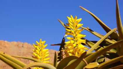 Blütenstände des Köcherbaums