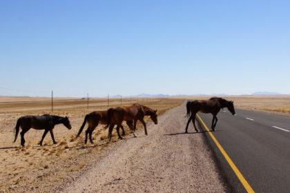 Wildpferde kreuzen die Straße bei Aus