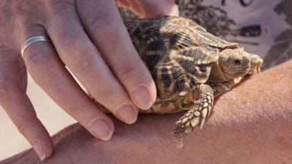 Schildkrötenrettung à la Lada