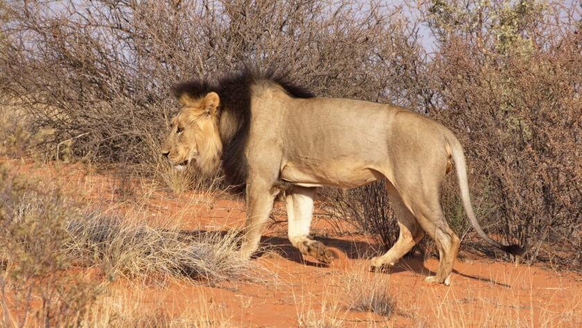 """Löwen-Tracking """"Schwarzmähnen-Löwe"""""""