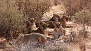 Löwen-Tracking, Löwenrudel