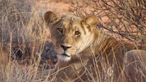 Löwen-Tracking -Löwenweibchen