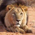 Löwen-Tracking auf der Kalahari Game Lodge