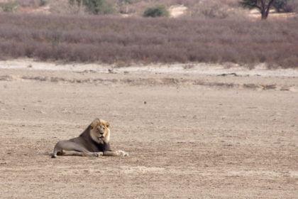 Löwe im Flussbett des Nossob River