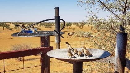 Besuch der Webervögel