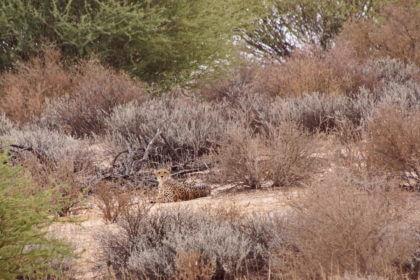 Geparden oben am Hang