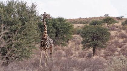 Giraffe kurz vor dem Kalahari Tended Camp