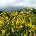 Ginsterblüte auf Tinos